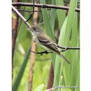 Image of Alder Flycatcher
