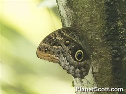 Image of Owl Butterfly