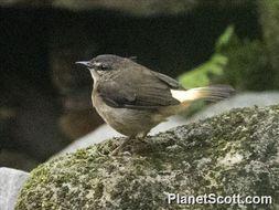 Image of Buff-rumped Warbler