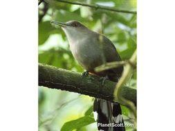Image of Puerto Rican Lizard Cuckoo