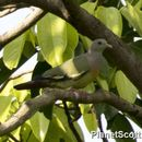 Image of Common green pigeon