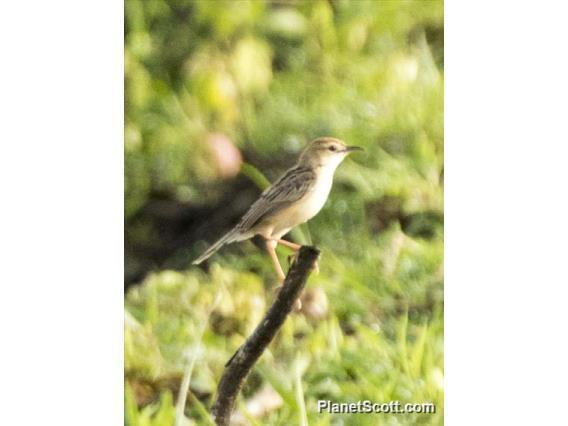 Image of Clamorous Reed Warbler