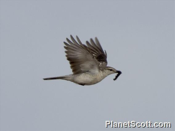 Image of White-rumped Triller