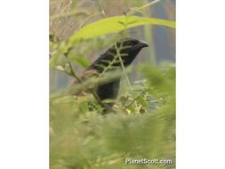 Image of Lesser Coucal
