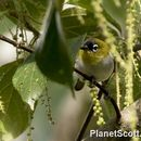 Image of Black-crowned White-eye