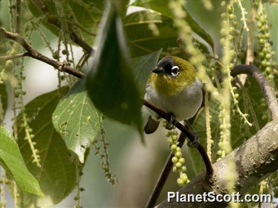 Image of Black-crowned White-eye