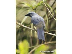 Image of Cerulean Cuckooshrike