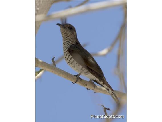 Image of Little Bronze-Cuckoo