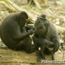 Image of Celebes crested macaque