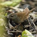 Image of Chestnut-backed Bush-Warbler