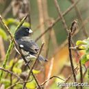 Image of Black-and-white Seedeater