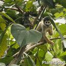 Image of Bolivian Squirrel Monkey