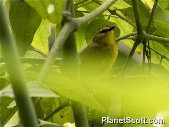 Image of Pale-legged Warbler