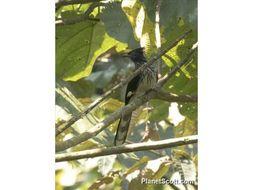 Image of Levaillant's Cuckoo