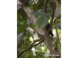 Image of Dusky Long-tailed Cuckoo