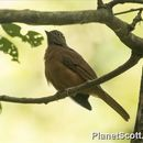 Image of Red-tailed Ant-Thrush