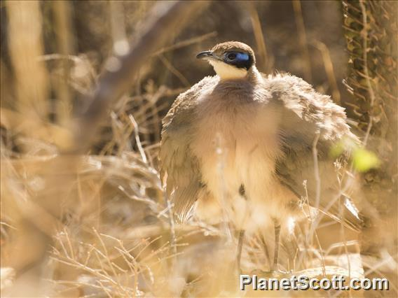 Image of Red-capped Coua