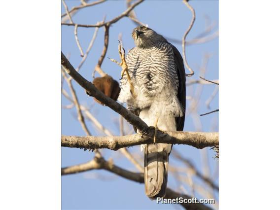 Image of Madagascar Sparrowhawk