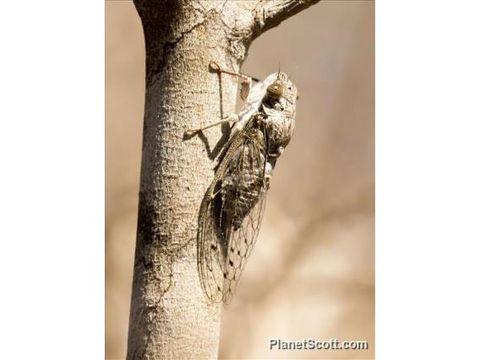 Image of Chremistica Cicada