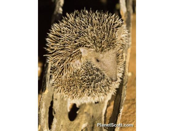 Image of Lesser Hedgehog Tenrec