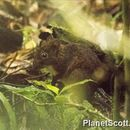 Image of Red Forest Rat