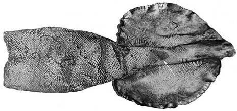 Image of Grimaldi scaled squid
