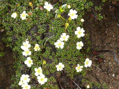 Image of pincushion plant