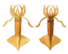 Image of clawed calamary squid