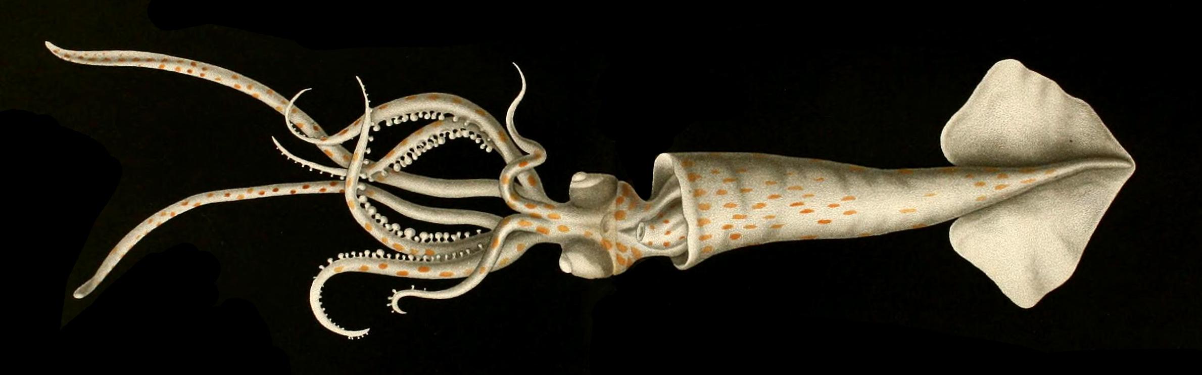 Image of common arm squid