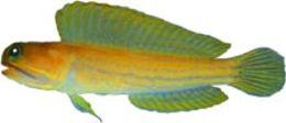 Image of Moustache Jawfish