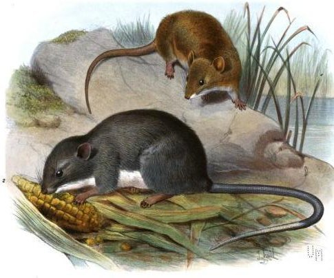 Image of Coues's Rice Rat