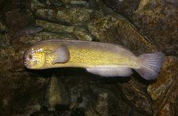 Image of prowfish