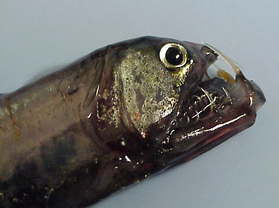 Image of Pacific viperfish