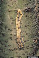 Image of <i>Ectoedemia liebwerdella</i> Zimmerman 1940