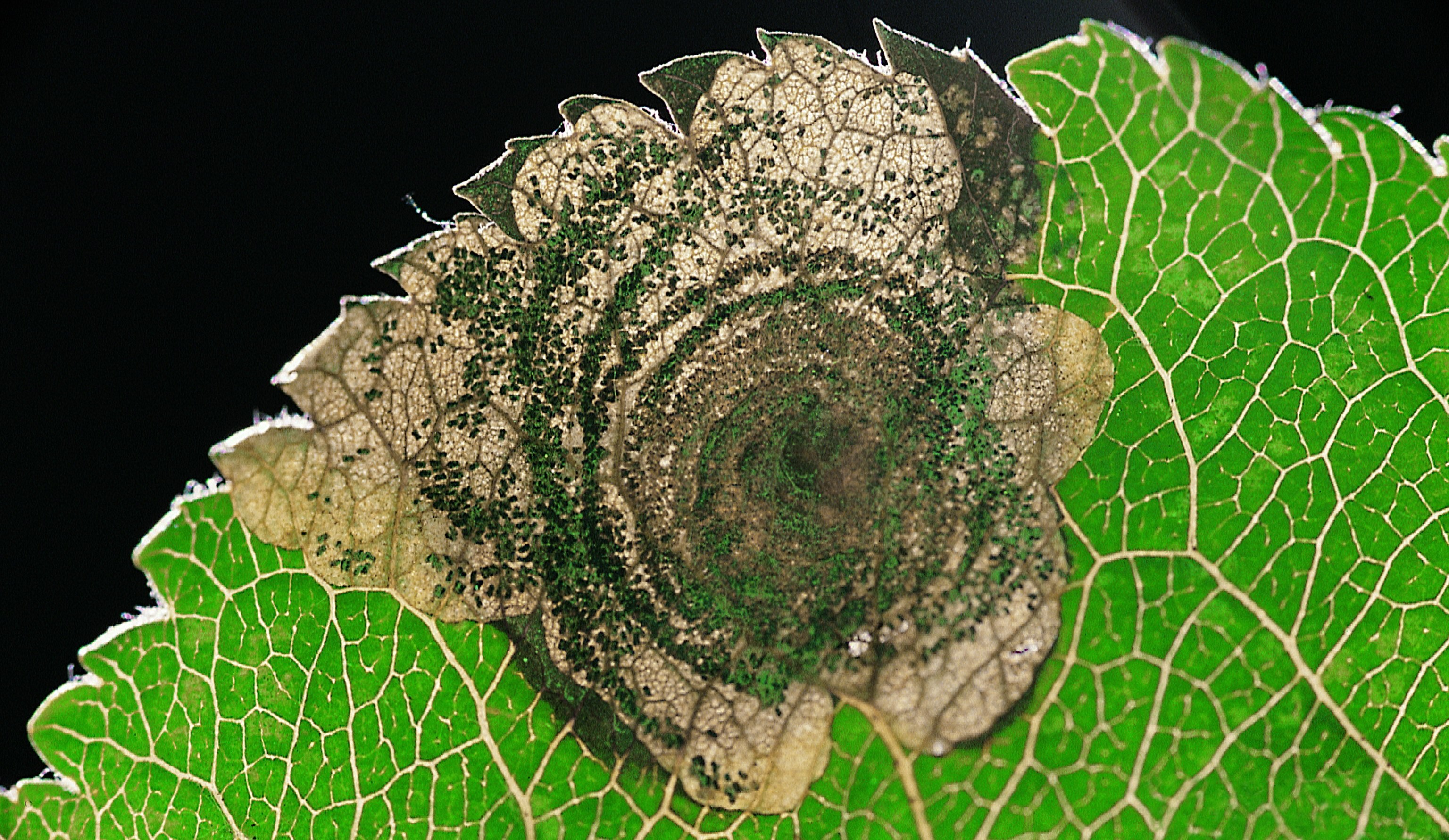 Image of <i>Leucoptera malifoliella</i> (O. Costa 1836) O. Costa 1836
