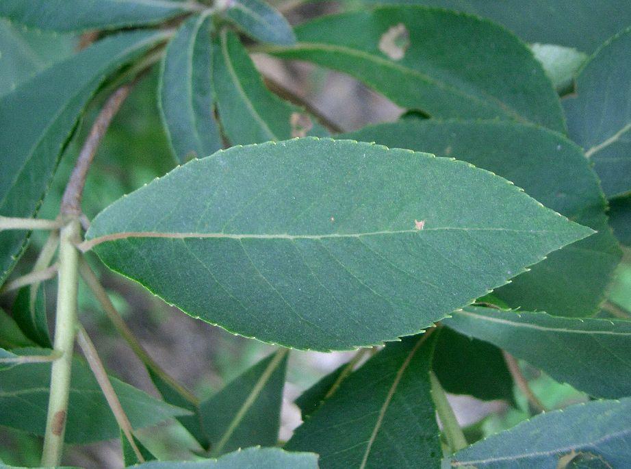 Image of Clethra