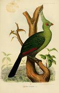 Image of <i>Tauraco livingstonii</i> Gray & GR 1864