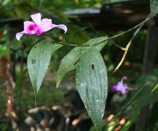 Image of <i>Sobralia sessilis</i> Lindl.