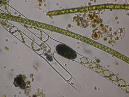 Image of Spirogyra