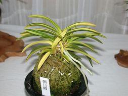 Image of <i>Neofinetia falcata</i> (Thunb.) Hu
