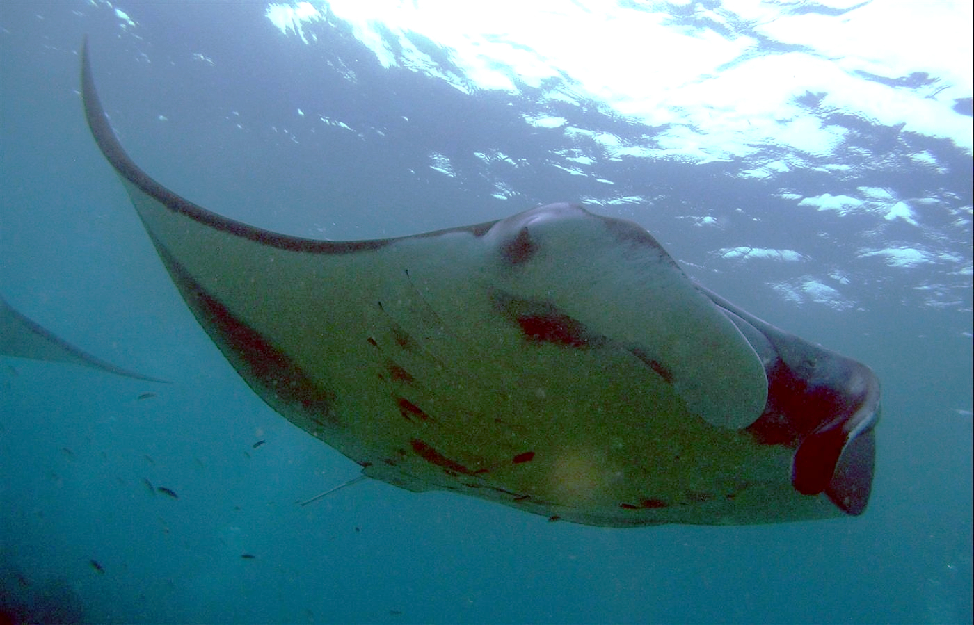 Image of Giant manta