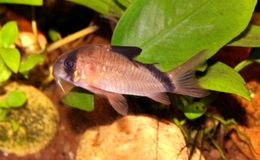 Image of Bandit catfish