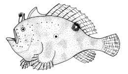 Image of Big-spot Angler