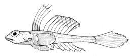 Image of <i>Foetorepus phasis</i> (Günther 1880)