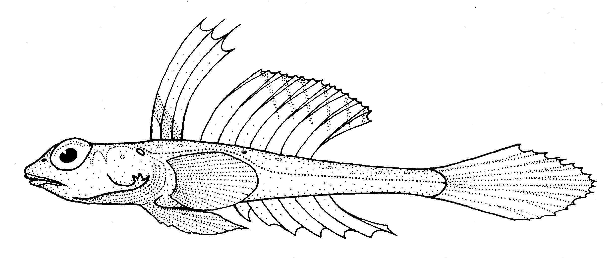 Image of Bight stinkfish