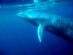 Image of Bryde's whale
