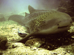 Image of Leopard shark
