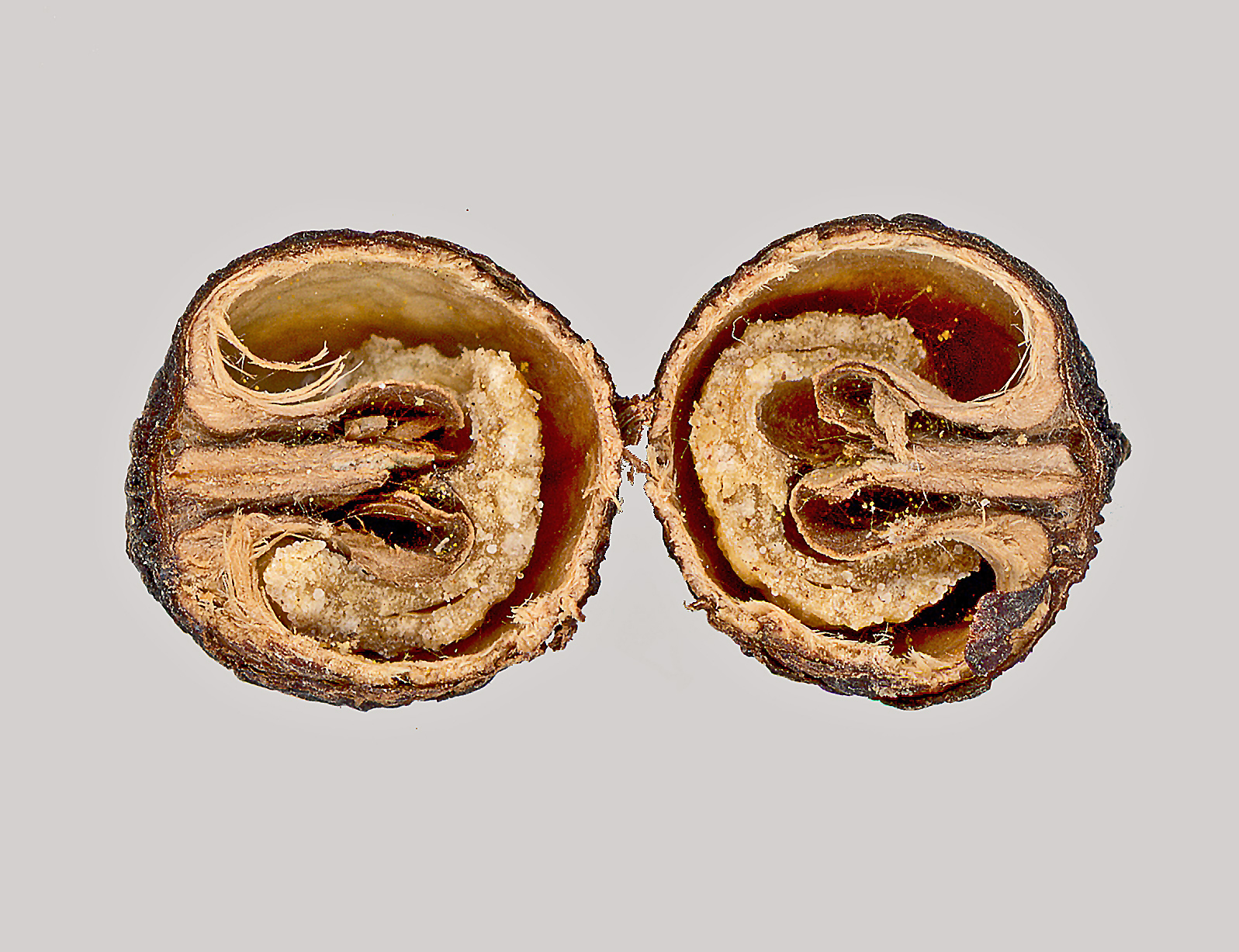 Image of <i>Anamirta cocculus</i> (L.) Wight & Arn.