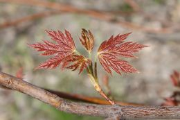 Image of silver maple