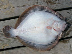 Image of Brill